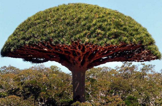 Drakono kraujo medis
